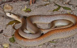 Самая ядовитая змея тайпан