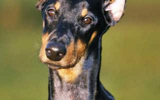 Какая порода собак названа