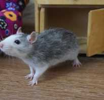Крыса дамбо рекс