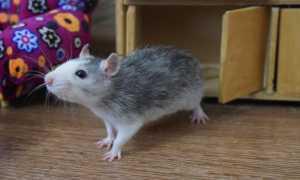 Как определить возраст крысы декоративной