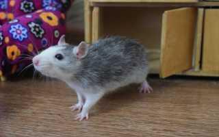 Сиамские крысы дамбо