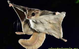 Белка летяга обыкновенная