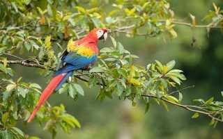 Попугай ара срок жизни