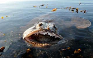 Рыба черт фото