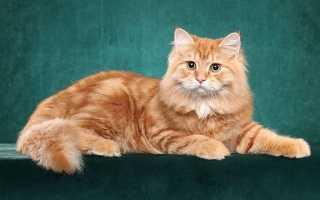 Фото рыжих котят пушистых
