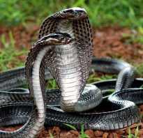 Кобра это змея