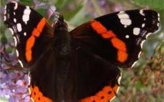 Как называются бабочки адмирал