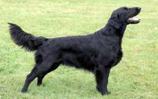 Черный ретривер фото описание породы