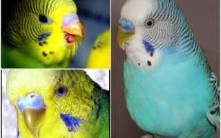 Клюв здорового волнистого попугая