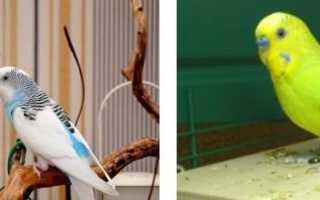 Домашние попугайчики фото