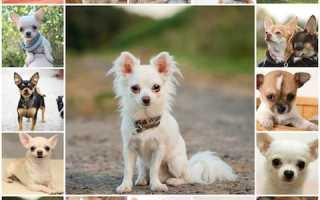 Как часто можно мыть чихуахуа щенка