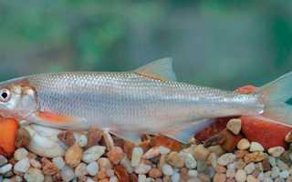 Шамайка рыба красная книга штраф