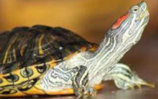 Содержание водяной черепахи в домашних условиях