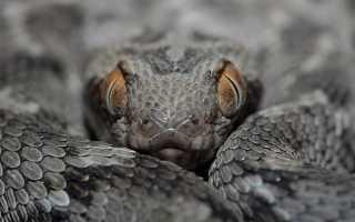 Змея эфа фото и описание