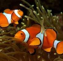 Рыба клоун окраска туловища плавников
