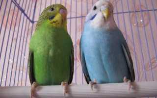 Как отличить попугая девочку