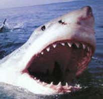 Доклад про акулу