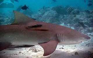 Пищеварительная система акулы