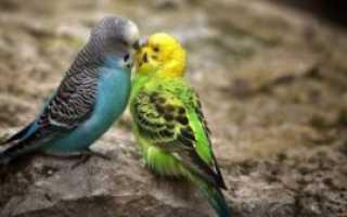 Почему дерутся попугаи
