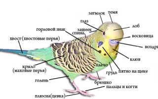 Анатомия попугая волнистого
