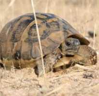 Как определить сколько лет черепахе сухопутной