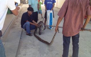 Зеленая змея таиланд