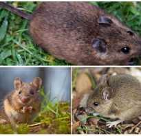 Полевая крыса фото