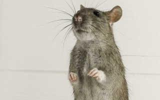 Человек крыса понятие