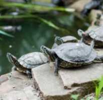Чем нельзя кормить красноухую черепаху