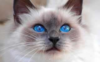 Кошка с голубыми глазами и стрелками
