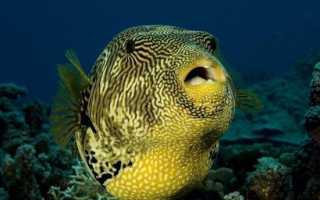 Японская ядовитая рыба