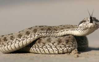 Тигровая змея яд