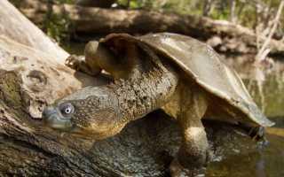 Морская черепаха дыхание