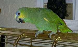 Адаптация попугая корелла после покупки