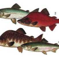 Классификация лососевых рыб по ценности
