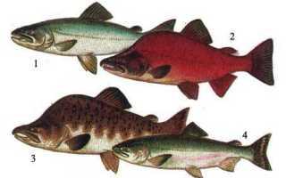 Самая дорогая рыба из семейства лососевых