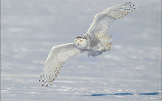 Полярная сова какая