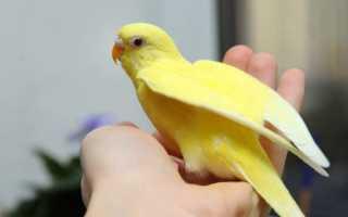 Желто зеленый попугай