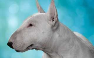 Порода собак с крысиной мордой фото