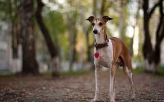 Как лечить микоплазмоз у собак