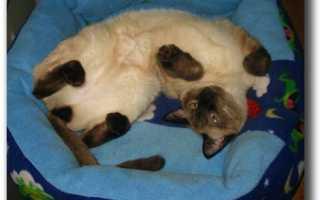 В каком возрасте кастрируют сиамских котят