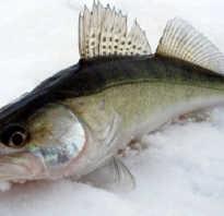 Судак это морская или речная рыба