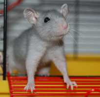 У крысы шерсть
