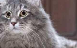 Сибирский кот вес по месяцам