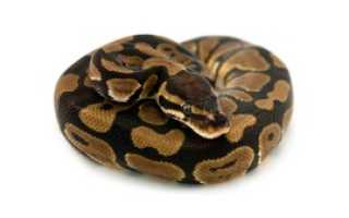 Королевский питон python regius
