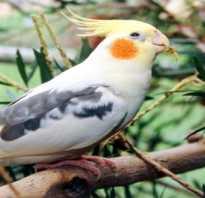Как можно назвать попугая мальчика