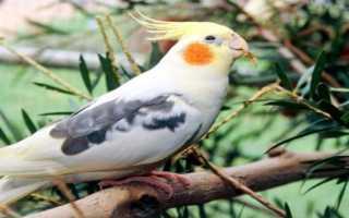 Как назвать голубого попугая мальчика