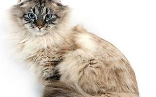 Факты о сибирских кошках