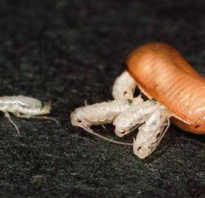 Как выглядит детеныш таракана фото