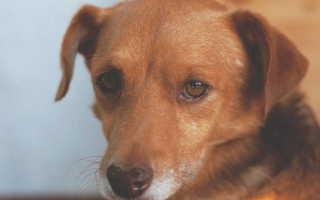 У собаки гноятся и чешутся глаза